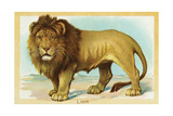 Lion Postcard Giclee Print