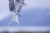 Arctic Tern Photographic Print by  Arctic-Images