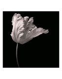 Parrot Tulip Prints by Michael Harrison