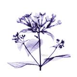Bouvardia Stampa giclée premium di Albert Koetsier