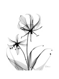 Gloriosa Lily Premium Giclee Print by Albert Koetsier