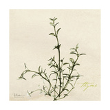Thyme Moment Premium Giclee Print by Albert Koetsier