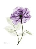 Purple Rose Portrait 2 Prints by Albert Koetsier