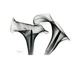 Calla Lily Gray 1 Premium Giclee Print by Albert Koetsier