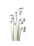Snowdrop Galanthus Premium Giclee Print by Albert Koetsier