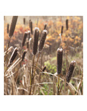Cattails Prints by Derek Jecxz