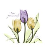 Passionately Tulip Premium Giclee Print by Albert Koetsier