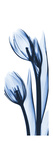 Two Blue Tulips Premium Giclee Print by Albert Koetsier