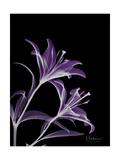 Purple Lily Premium Giclee Print by Albert Koetsier
