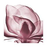 Magnolia Marcela Giclee-tryk i høj kvalitet af Albert Koetsier
