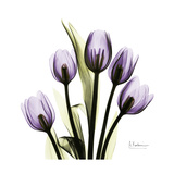Purple Tulip Square Premium Giclee Print by Albert Koetsier