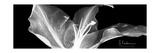 Lily 1 Premium Giclee Print by Albert Koetsier