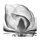 Gray Magnolia Prints by Albert Koetsier