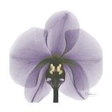 Lilac Orchid Premium Giclee Print by Albert Koetsier
