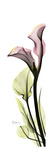 Tall Pink Calla Lily Premium Giclee Print by Albert Koetsier
