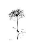 Rose Gray Premium Giclee Print by Albert Koetsier
