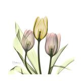 Tulip Trio Prints by Albert Koetsier