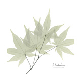 Japanese Maple Portrait 2 Premium Giclee Print by Albert Koetsier