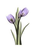 Purple Tulip Portrait 2 Premium Giclee Print by Albert Koetsier
