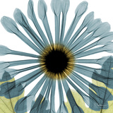 Chrysanthemum H68 Premium Giclee Print by Albert Koetsier
