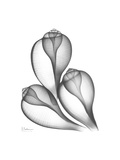 Fig Shells Xray 1 Premium Giclee Print by Albert Koetsier