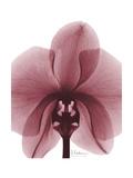 Marcela Orchid Art by Albert Koetsier