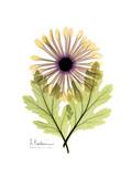 Chrysanthemum Portrait Premium Giclee Print by Albert Koetsier