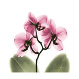 Pink Orchid Posters af Albert Koetsier