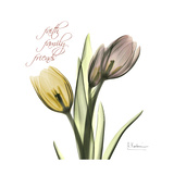 Faith Tulips Premium Giclee Print by Albert Koetsier