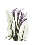Purple Calla Lily Portrait Premium Giclee Print by Albert Koetsier