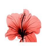 Hibiscus Premium Giclee Print by Albert Koetsier
