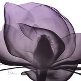 Magnolia Wine Beauty Prints by Albert Koetsier