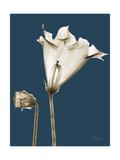Tonal Gloxinia on Navy Art by Albert Koetsier