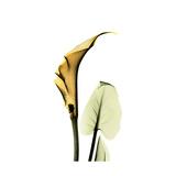 Golden Calla Lily 3 Premium Giclee Print by Albert Koetsier
