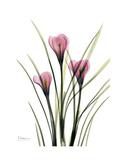 Pink Crocus Portrait Premium Giclee Print by Albert Koetsier