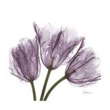 Tulips Lavender Premium Giclee Print by Albert Koetsier