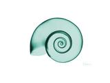 Ramshorn Snail Shell Premium Giclee Print by Albert Koetsier
