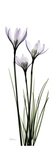 White Rain Lily Premium Giclee Print by Albert Koetsier