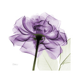 Purple Rose Art by Albert Koetsier