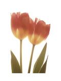 Orange Tulips Premium Giclee Print by Albert Koetsier