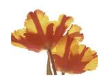 Hot Tulip Premium Giclee Print by Albert Koetsier