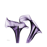 Grape Calla Lilies 1 Premium Giclee Print by Albert Koetsier