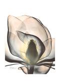 Magnolia Portrait Premium Giclee Print by Albert Koetsier