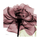 Chianti Rose 2 Premium Giclee Print by Albert Koetsier