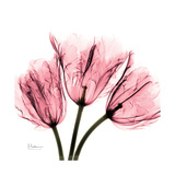 Soft Pink Tulips Prints by Albert Koetsier