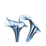 Indigo Calla Lilies D Premium Giclee Print by Albert Koetsier