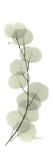 Eucalyptus Branch Up Giclee-tryk i høj kvalitet af Albert Koetsier