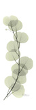 Eucalyptus Branch Up Premium Giclee Print by Albert Koetsier