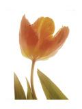 Solo Tulip colored Premium Giclee Print by Albert Koetsier