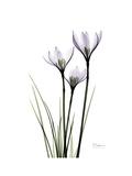 Whit Rain Lily Portrait Premium Giclee Print by Albert Koetsier